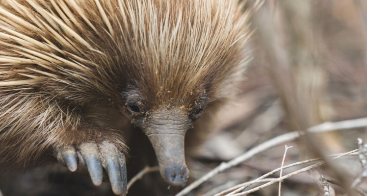 Things to Do on Kangaroo Island; Kangaroo Island Experiences; Kangaroo Island Wildlife; Echidna