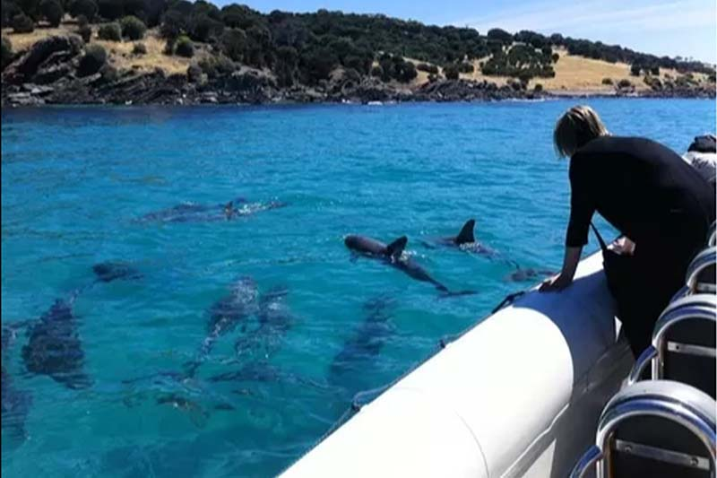 Kangaroo Island Marine Tours; Dolphin watching; Swim with the dolphins